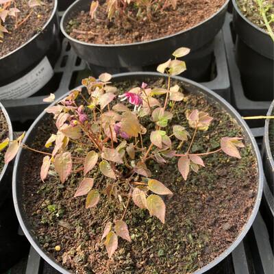 Epimedium grandiflorum 'Purple Pixie'