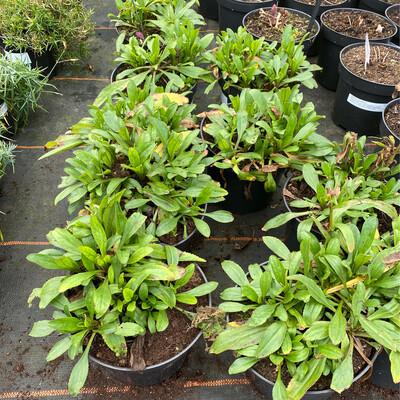 Leucanthemum Lemon Puff
