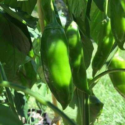 Sandia Chile Seeds