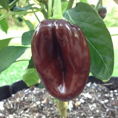 Ancho Mulato Chile Seeds