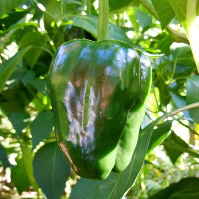 Ancho L Chile Seeds