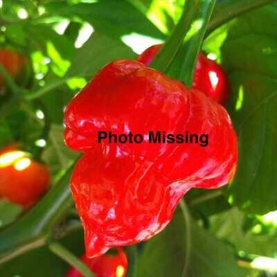 Chervena Chushka Chile Seeds