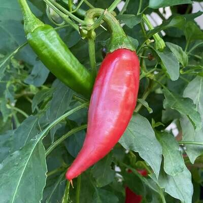 Chilcostle Chile Seeds