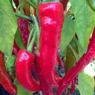 Fushimi Pepper Seeds