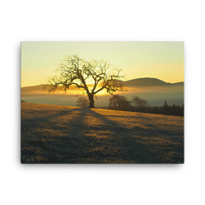 Elm Sunrise Canvas Print