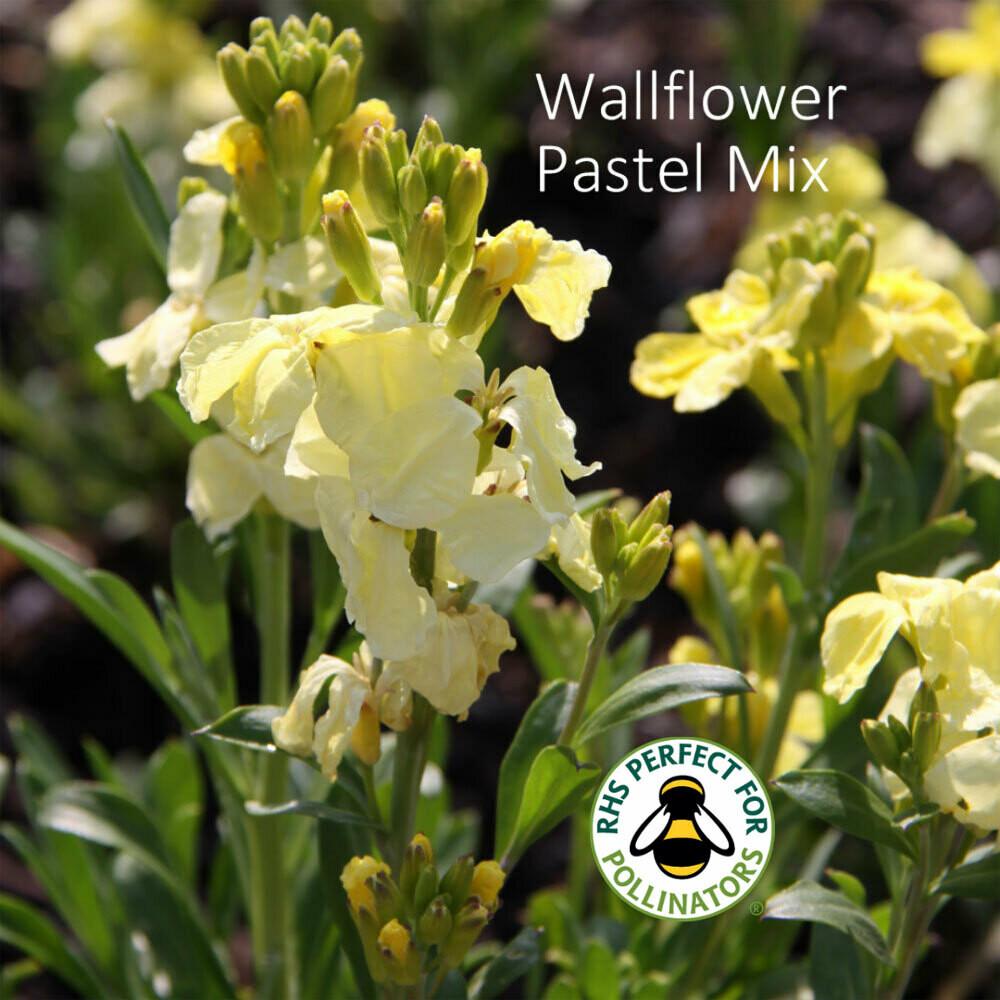 Pastel Wallflower Mix