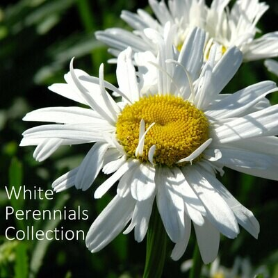 White Perennials Seed Collection
