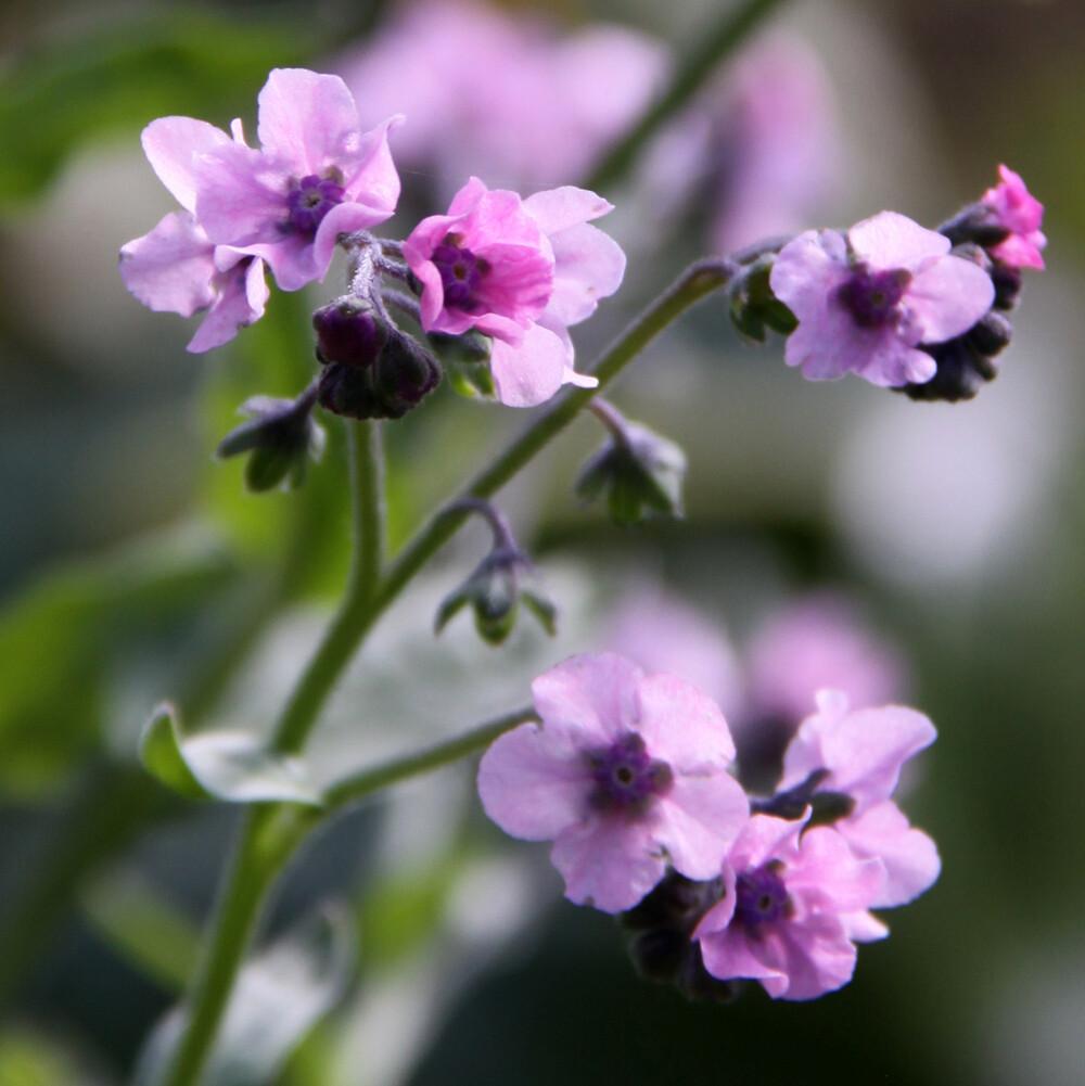 Cynoglossum 'Mystery Rose'