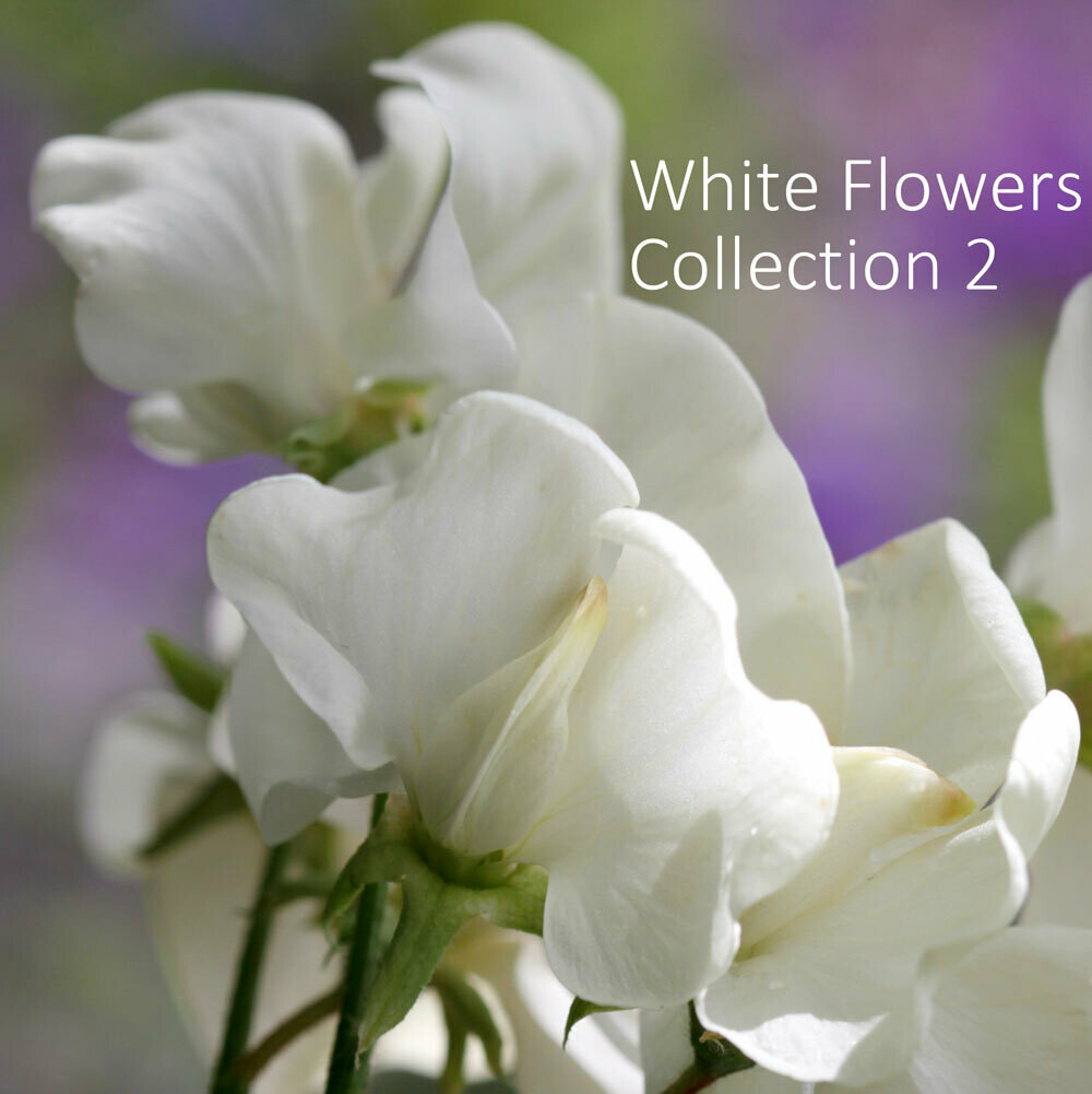 White Garden Seed Collection 2