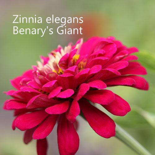 Mixed Zinnias