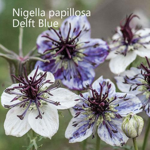 Nigella papillosa 'Delft Blue'