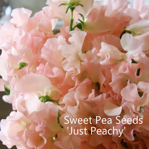 Sweet Pea Seeds Mix 'Just Peachy'