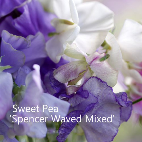 Sweet Pea Mix 'Spencer Waved'