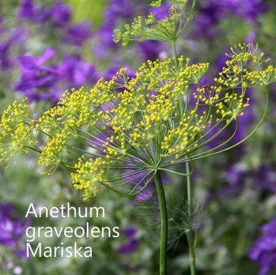 Anethum graveolens Mariska (Dill)