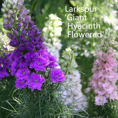 Larkspur 'Giant Hyacinth Flowered Mixed'