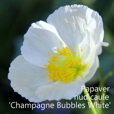 Papaver nudicaule 'Champagne Bubbles White'