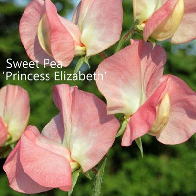 Sweet Pea 'Princess Elizabeth'