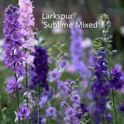 Larkspur 'Sublime Mixed'