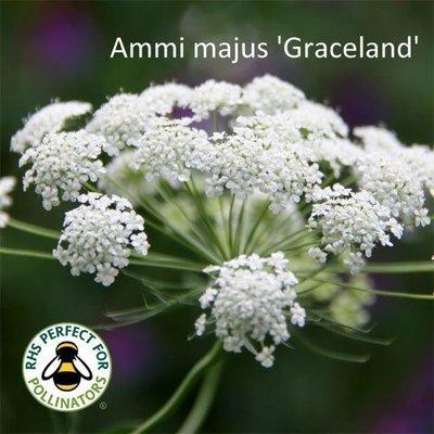 Ammi majus 'Graceland'