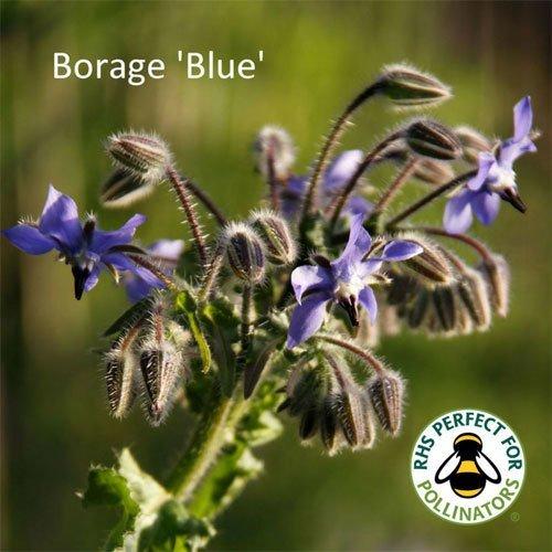 Borage 'Blue'