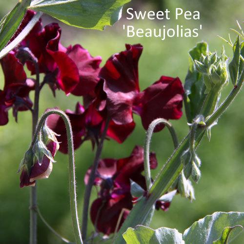 Sweet Pea 'Beaujolais'