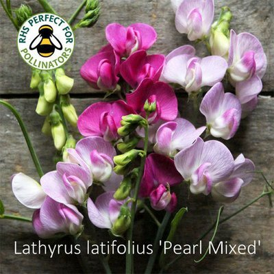 Lathyrus latifolius 'Pearl Mixed'