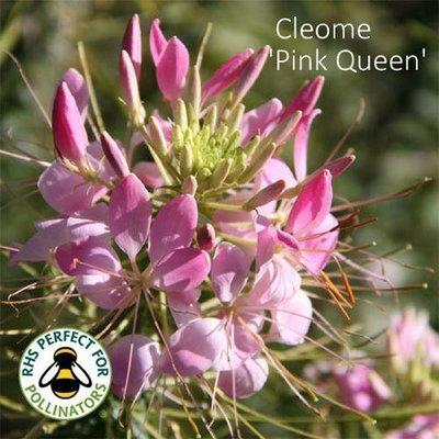 Cleome hassleriana 'Pink Queen'