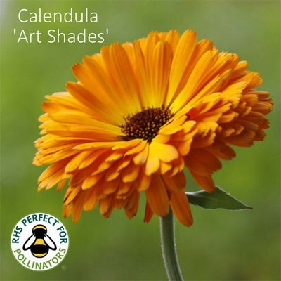 Calendula officinalis Art Shades Mixed