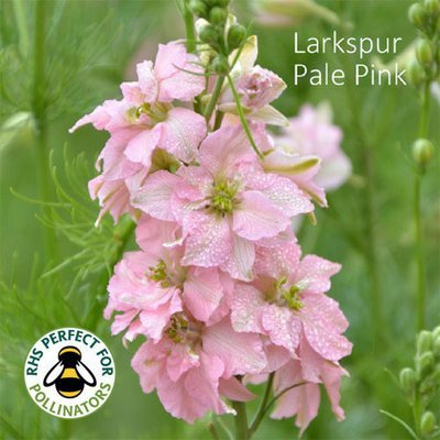 Larkspur 'Light Pink'