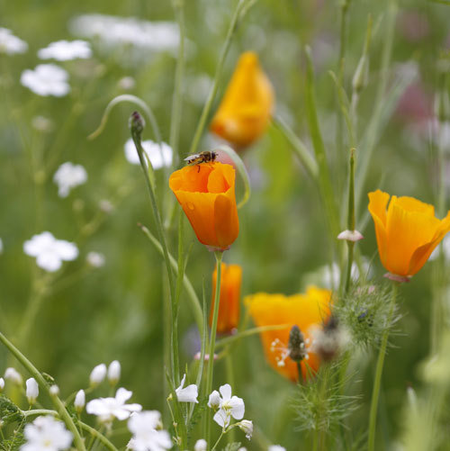 Eschscholzia californica & Gypsophila 'Covent Garden'