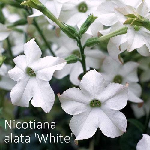 Nicotiana alata 'White'