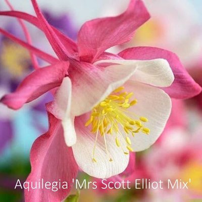 Aquilegia 'Mrs Scott Elliott Mix'