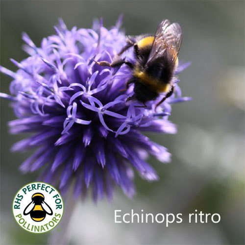 Echinops ritro