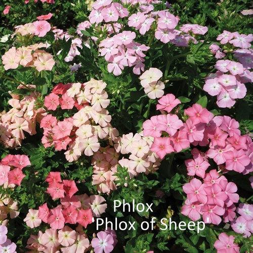 Phlox 'Phlox of Sheep'