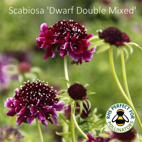 Scabiosa 'Dwarf Double Mixed'