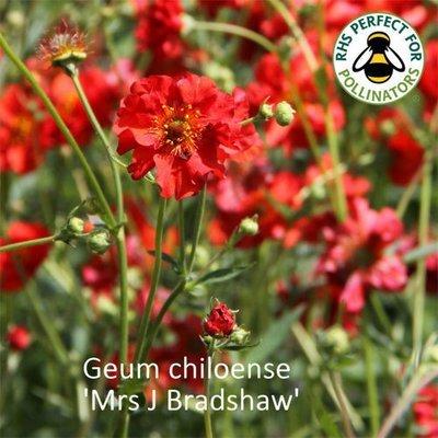 Geum chiloense 'Mrs Bradshaw'
