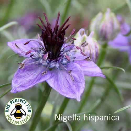 Nigella hispanica
