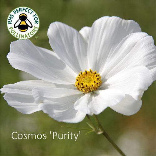 Cosmos bipinnatus 'Purity'