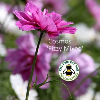 Cosmos bipinnatus 'Fizzy Mixed'