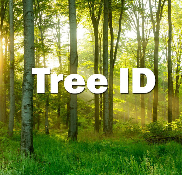 Tree ID (Exeter) - 18th June 2021