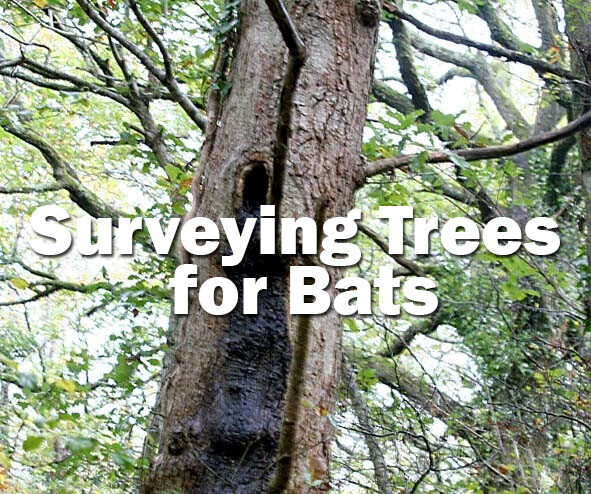 Bats: Surveying Trees for Bats (Exeter, Devon) 12th March 2021