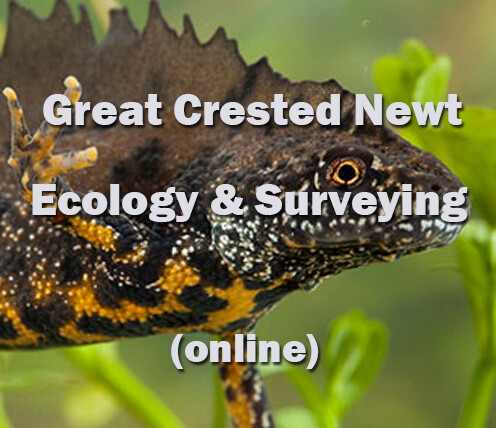 Great Crested Newt Ecology and Surveying Online course