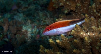 Goat Fish, Matemo