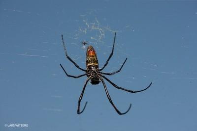 Golden Orb spider, Mozambique