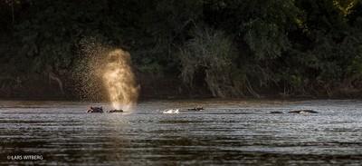 Hippos in Lugenda, Africa