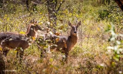 Water bucks, Niassa, Africa