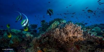 Banner Fish, Indian Ocean