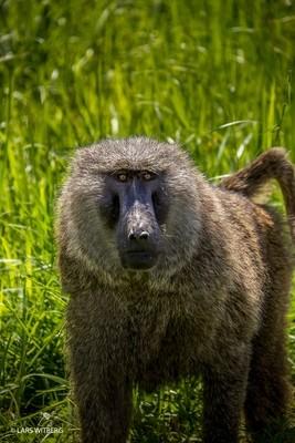 Baboon, Uganda