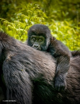 Mother and child, Mountain gorilla