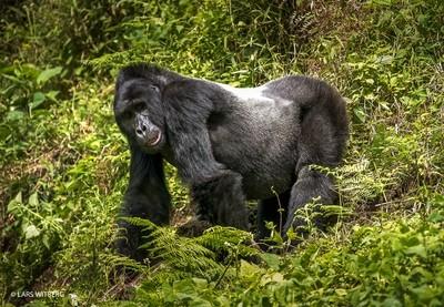 Silverback Male Gorilla, Uganda